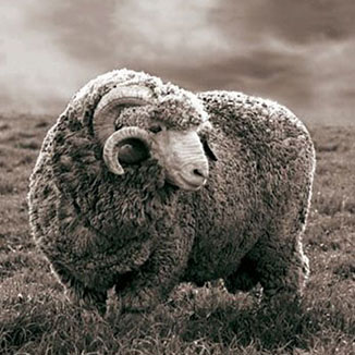 What is Merino wool and where does it come from?