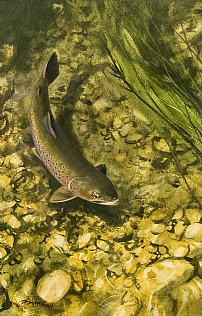 Brown Trout by Rodger McPhail