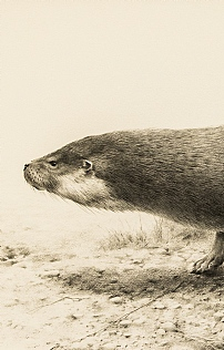 Otter Gallop by Terence Lambert