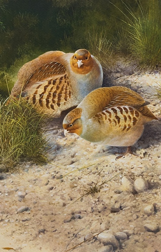 Partridges by Terence Lambert