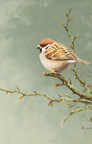 Tree Sparrow by Rodger McPhail