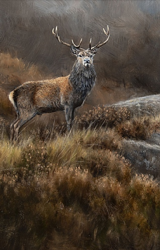 Torridon Stag by Alastair Proud