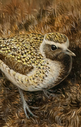 Golden Plover by Richard Whittlestone