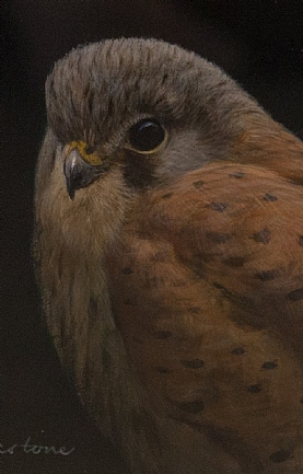 Kestrel Portrait by Richard Whittlestone