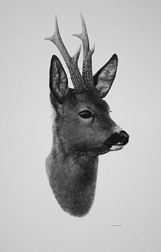 Roebuck by Keith Sykes