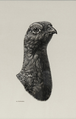 Red Grouse by Keith Sykes