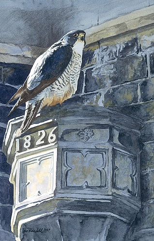 Church Peregrine By Ian Rendall