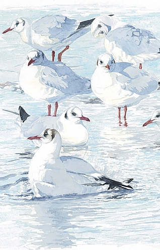Pool Party - Black-Headed Gulls By Ian Rendall