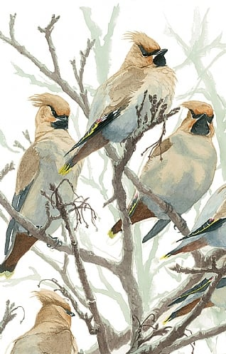 Waxwings by Ian Rendall