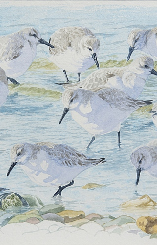 Sanderling and Turnstone by Ian Rendall