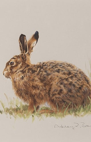 Brown Hare by Ashley Boon