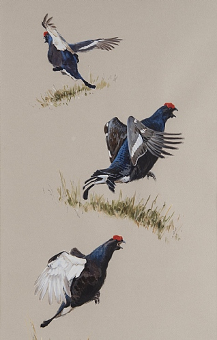 Lekking Black Grouse Studies by Ashley Boon