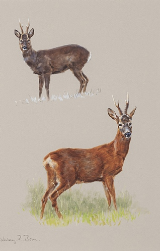 Roe Deer, Early & Late Spring by Ashley Boon